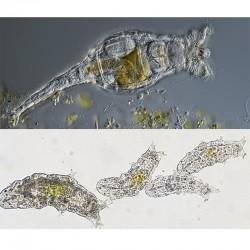 Zooplankton rotaria 90 ml