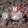 Lybia tesselata- Pompom crab