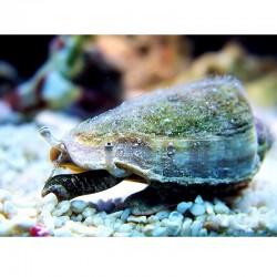 Strombus spp.- Escargot Conche