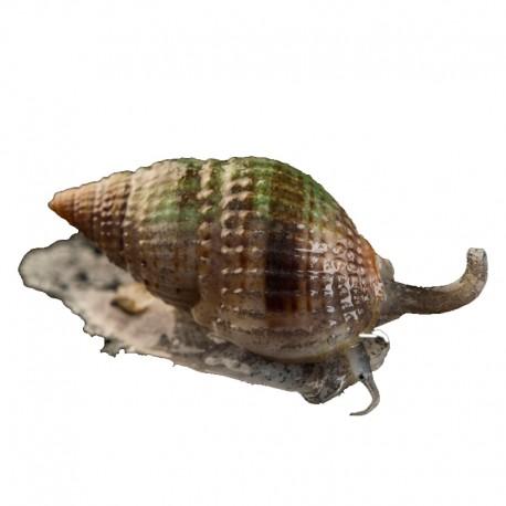 Stombus spp.- Escargot Conche