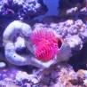 Protula bispiralis- Coco worms