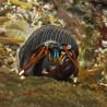 Calcinus laevimanus- Bernard l'hermite à grosse pince