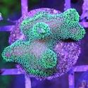 Stylophora - Pocillopora